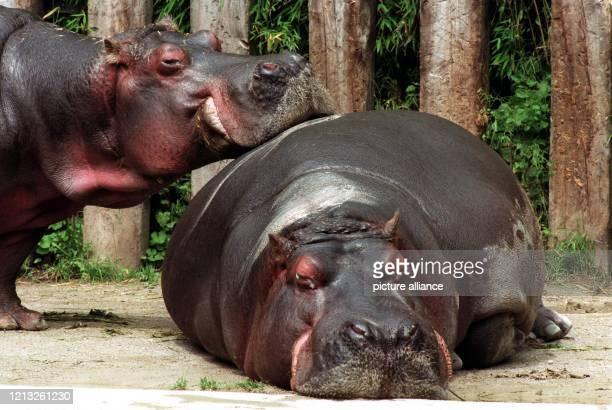 Uneingeschränktes Wohlbefinden scheinen die Mienen der beiden Nilpferde im Tierpark Hellabrunn auszudrücken Die bis über drei Tonnen schweren...