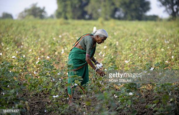 UNenvironmentbiodiversityagricultureIndiacottonFOCUS by Mariette le Roux An Indian labourer plucks cotton from bushes in fields of Warangal District...