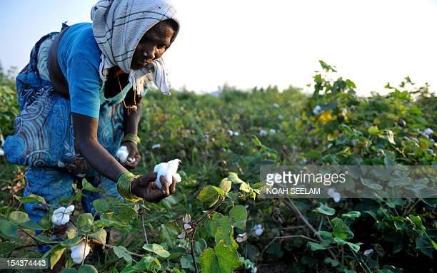 UNenvironmentbiodiversityagricultureIndiacottonFOCUS by Mariette le Roux An Indian labourer plucks cotton from bushes in fields of Warangal District...