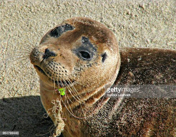 unfortunate young sea lion in la jolla cove - san diego, california - mammal stock pictures, royalty-free photos & images