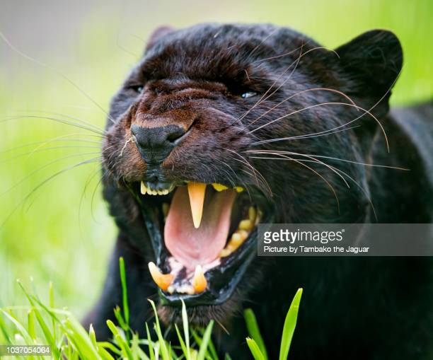 unfriendly black leopard - black panther face stock photos and pictures
