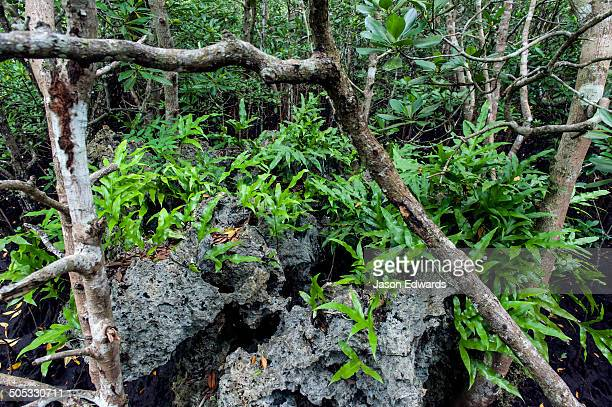 In a mangrove forest Musk Fern sprouts from any available surface even a dead jagged coral reef.