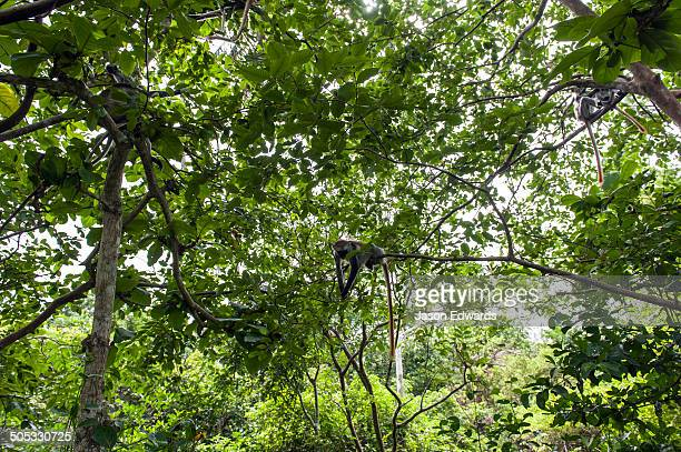 A family group of Zanzibar Red Colobus resting in the canopy of a Coral Rag Forest.