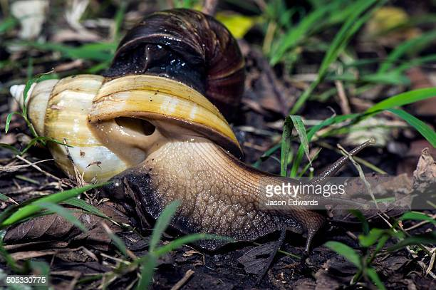 an enormous east african land snail breathing through it's respiratory pore beneath it's shell. - giant african land snail stock pictures, royalty-free photos & images