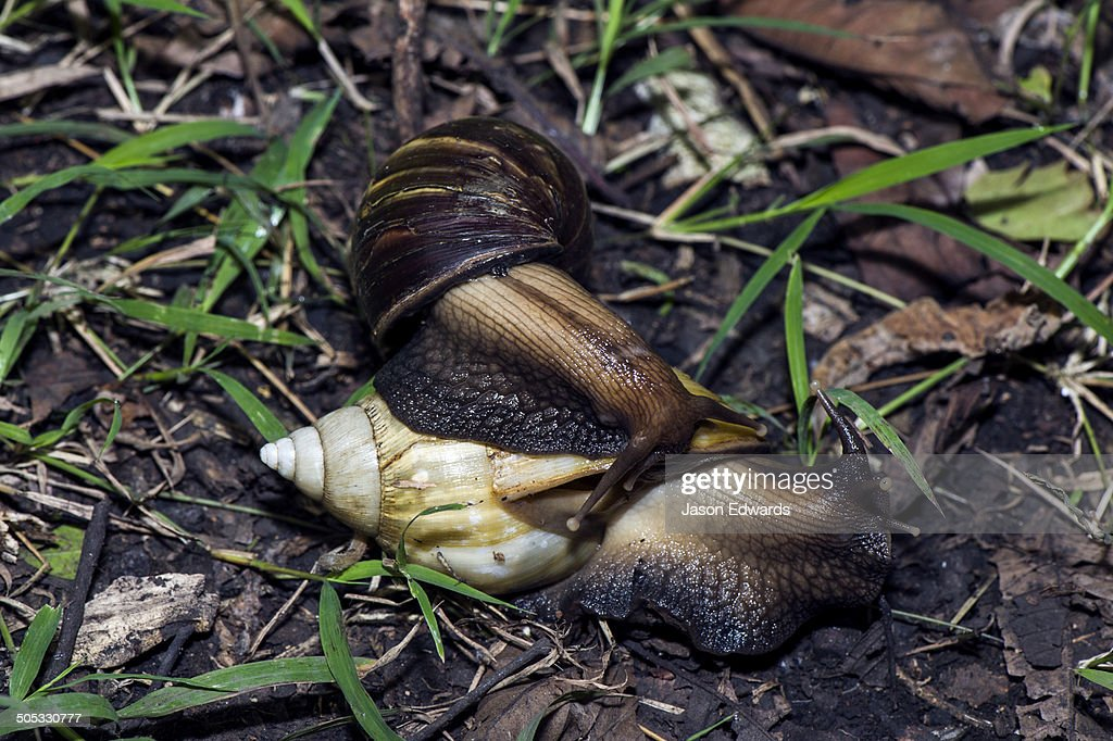A pair of enormous East African Land Snails mating on the forest floor. : Foto de stock