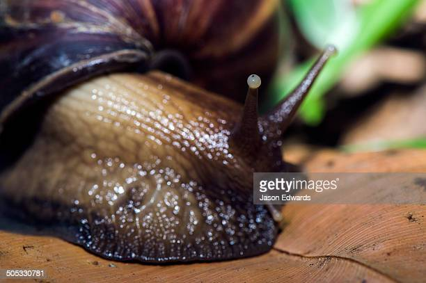 the eyespot on the end of a tentacle of an enormous east african land snail on the forest floor. - giant african land snail stock pictures, royalty-free photos & images