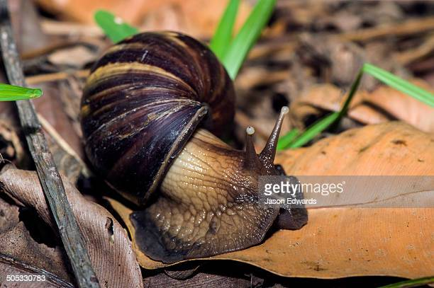 An enormous East African Land Snails foraging for food on dead leaves on the forest floor.