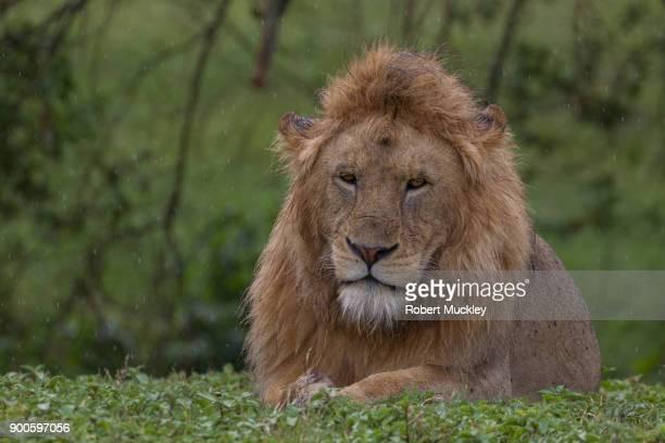 Unhappy Male Lion
