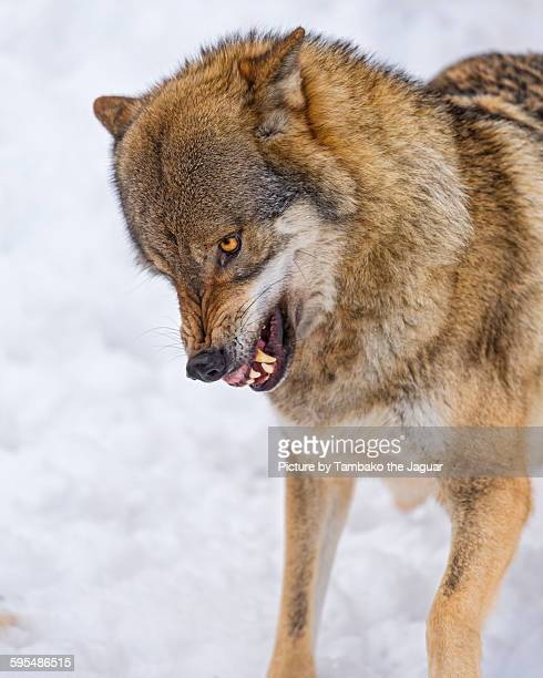 Unhappy wolf