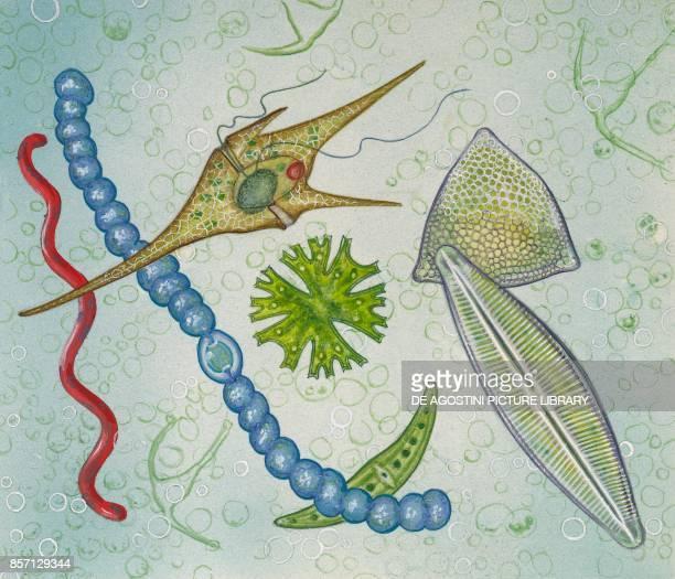 Nostoc Ceratium Micrasterias Closterium Cymbella Triceratium drawing