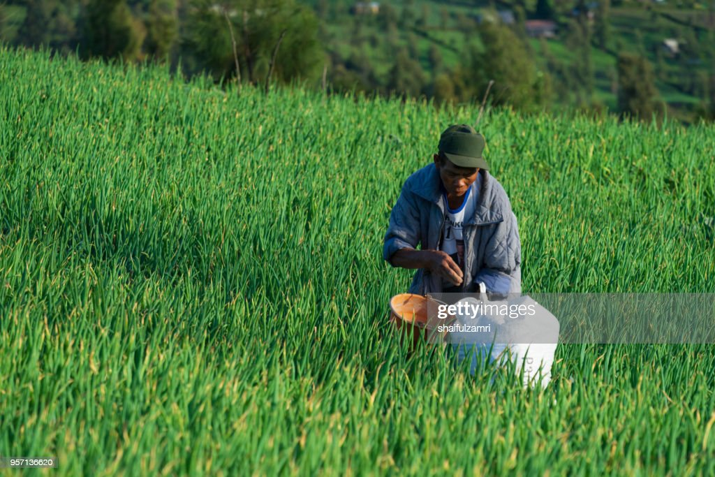 Unidentified farmer in Bromo working at his onion farm. Volcanic ash provides farmland around the erupting Mount Bromo with fertile soil for agriculture use. : Stock Photo
