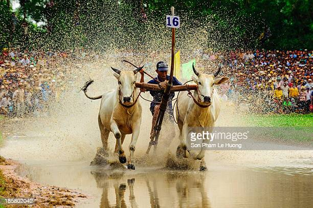 Unidentified jockey steers two bulls across the muddy paddy fields in the bull race of the 'Don Ta' festival on Oct 4, 2013 in Chau Doc, An Giang,...
