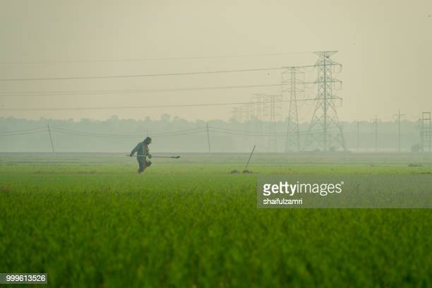 Unidentified local farmer working at organic paddy field in Sungai Besar, Malaysia.