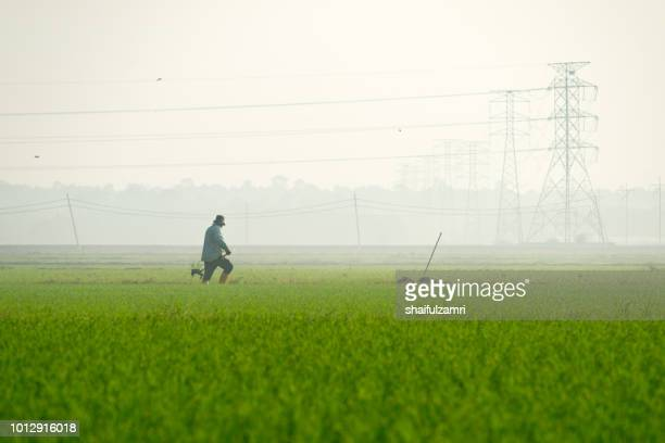 unidentified local farmer working in paddy field over misty morning at rural area of sabak bernam, malaysia. - shaifulzamri stock pictures, royalty-free photos & images