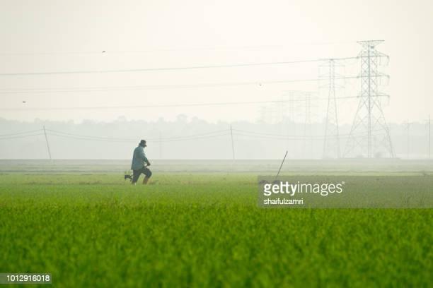unidentified local farmer working in paddy field over misty morning at rural area of sabak bernam, malaysia. - shaifulzamri 個照片及圖片檔
