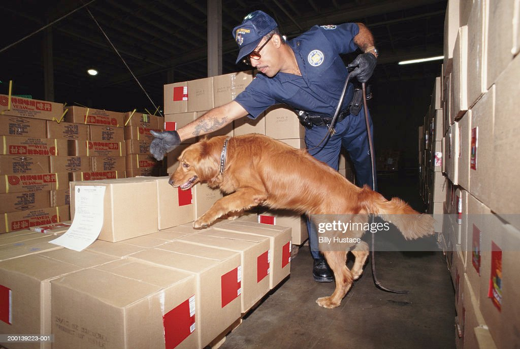 Uniformed man inspecting boxes with Golden Retriever : Stock-Foto