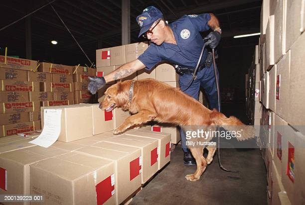 uniformed man inspecting boxes with golden retriever - working animal stock pictures, royalty-free photos & images