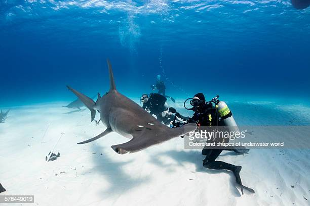 unique animal - hammerhead shark stock photos and pictures