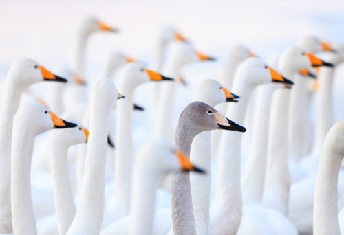 Unique swan - gettyimageskorea