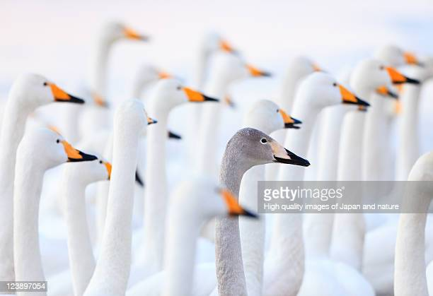 unique swan - individuality stock photos and pictures