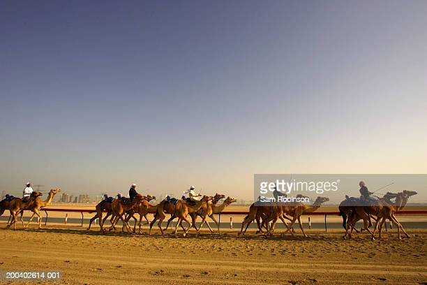 united arab emirates, dubai, nad-al-sheba club, men riding camels - sam's club stock pictures, royalty-free photos & images