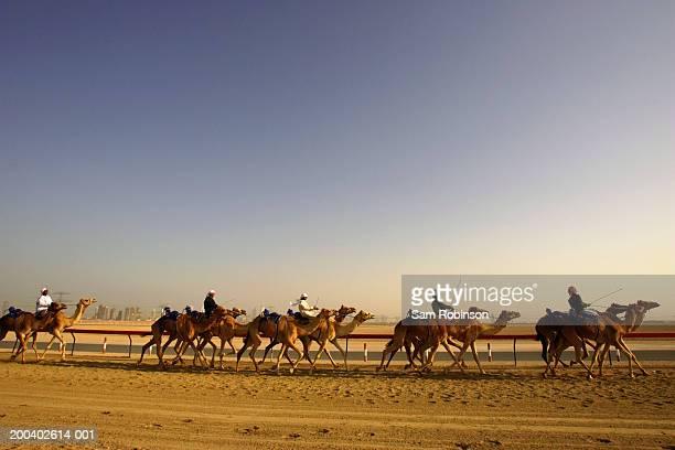 united arab emirates, dubai, nad-al-sheba club, men riding camels - camel active stock-fotos und bilder