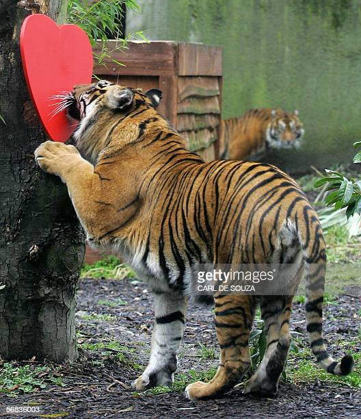 A female Sumatran tiger named Raika smells a wooden heart doused in Calvin Klein's 'Obsession' fragrance during a photocall at London Zoo 13 February...