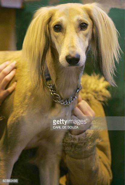 A Saluki breed dog looks round during the terrier and hound competition at Crufts the world's biggest dog show held annually in Birmingham 10 March...