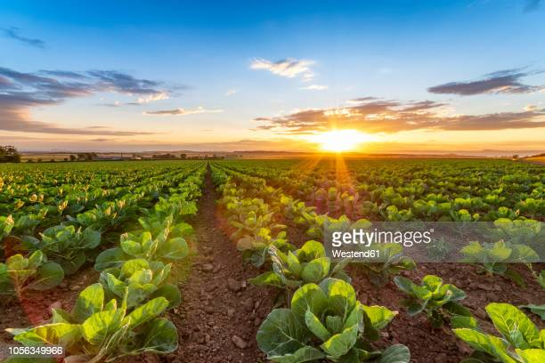 United KIngdom, East Lothian, field of brussels sprouts, Brassica oleracea, against the evening sun