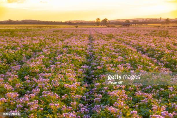 United KIngdom, East Lothian, flowering potato field, Solanum tuberosum, at sunrise