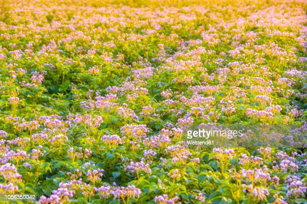 United KIngdom, East Lothian, flowering potato field, Solanum tuberosum, in the morning light, full frame