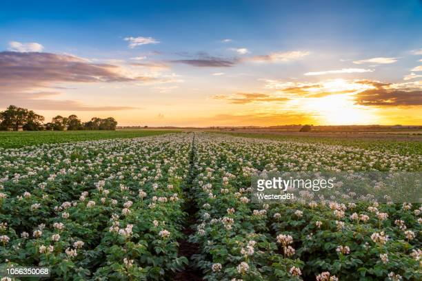 United KIngdom, East Lothian, flowering potato field, Solanum tuberosum, at sunset