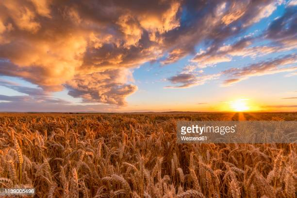 united kingdom, east lothian, wheat field at sunset - wheat stock pictures, royalty-free photos & images