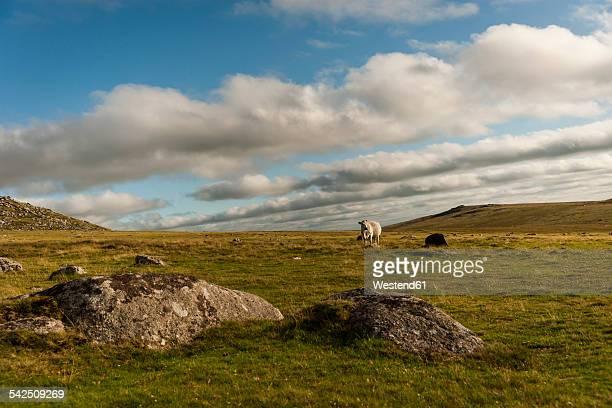 United Kingdom, England, Cornwall, Bodmin Moor, sheep