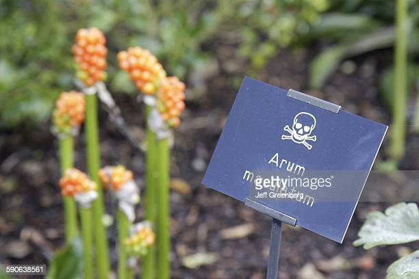 United Kingdom, England, Northumberland, Alnwick, The Alnwick Garden, The Poison Garden, Arum Maculatum.