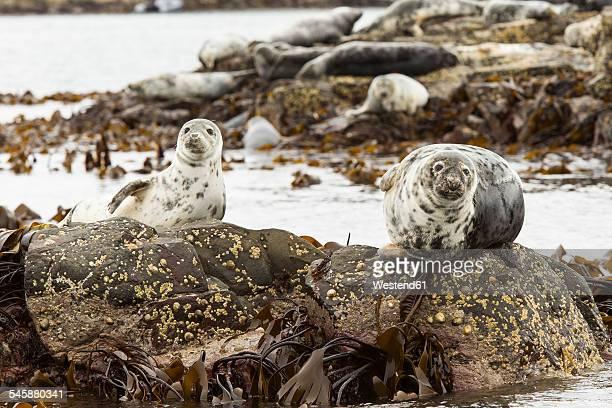 united kingdom, england, northumberland, farne islands, atlantic grey seals, halichoerus grypus - northumberland stock photos and pictures