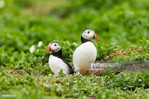 united kingdom, england, northumberland, farne islands, atlantic puffins, fratercula arctica - perching stock photos and pictures
