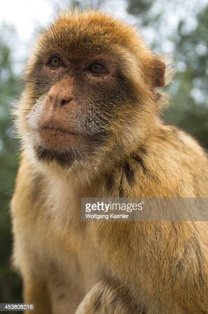 United Kingdom, Gibraltar, Barbary Macaque , Close -up.