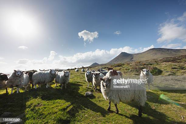United Kingdom, Northern Ireland, County Down, View of sheeps in grass