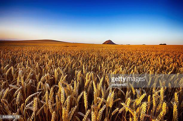 United Kingdom, Scotland, East Lothian, North Berwick, Field of oats, Avena sativa, in the evening light