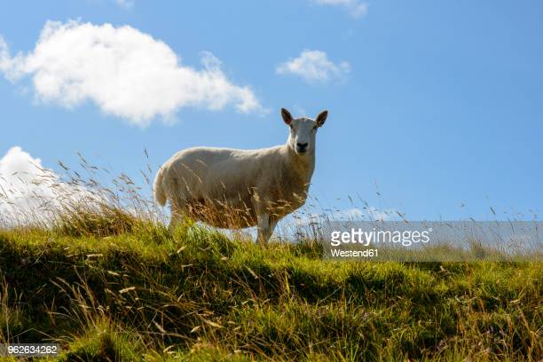 United Kingdom, Scotland, Highland, Caithness, domestic sheep
