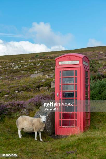 united kingdom, scotland, highland, telephone booth and sheep - telephone box stock pictures, royalty-free photos & images