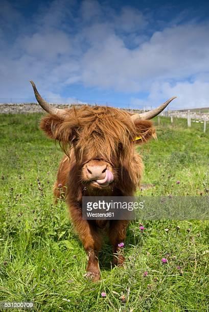 United Kingdom, Scotland, Highlands Cattle