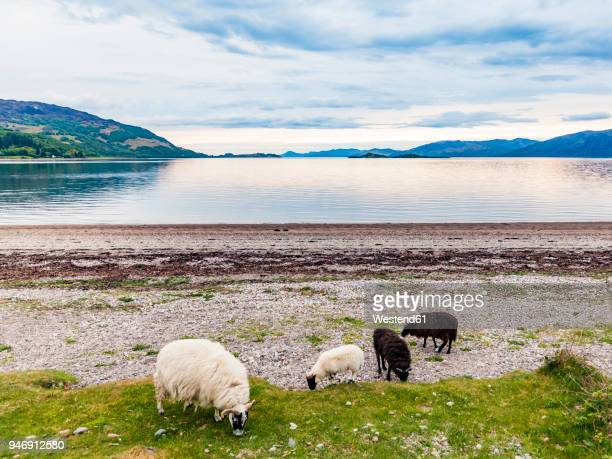 united kingdom, scotland, loch linnhe, cuil, cuil bay, scottish blackface - bay of water stock pictures, royalty-free photos & images