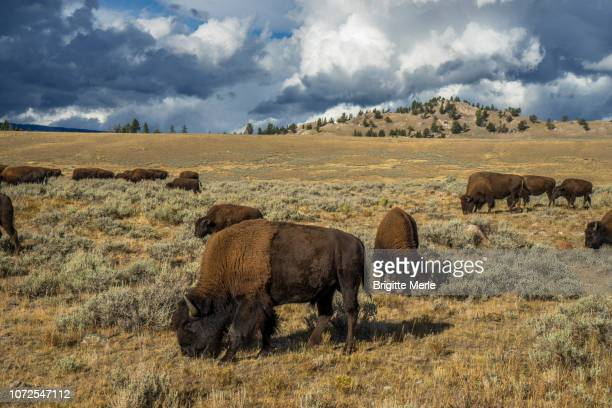 United States, Wyoming, Yellowstone National Park,bisons in the North of the park UNESCO World Heritage List