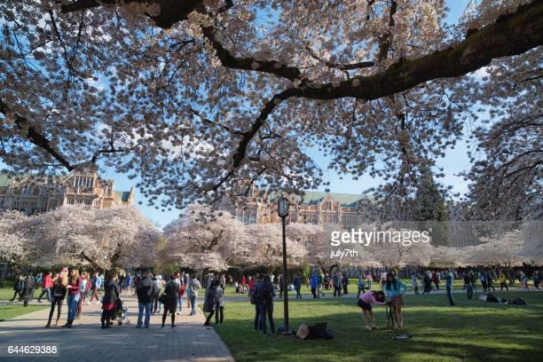 ワシントン大学の桜 - ワシントン大学 ストックフォトと画像