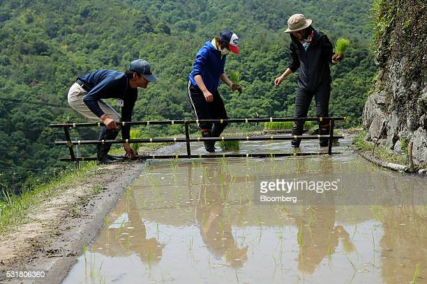 University students plant rice seedlings in terraced paddy fields in the Nakayama District of Shodo Island Kagawa Prefecture Japan on Saturday May 14...