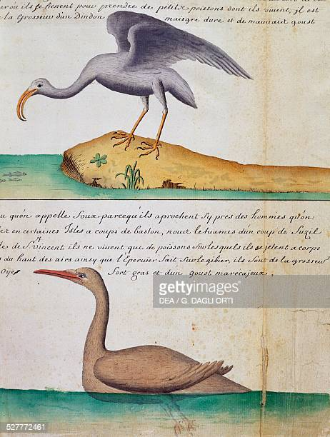 Unknown Bird and a birdo called Foux Sao Vicente island Cape Verde watercolour from the log book by Jacques Gouin de Beauchesne captain of the...