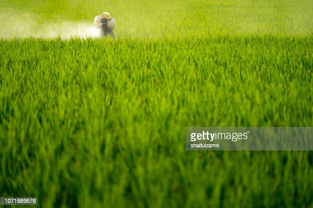 Unknown local farmer spraying pesticide at paddy field in Selangor, Malaysia.