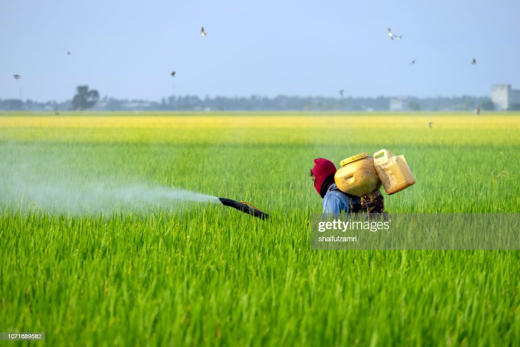 Unknown local farmer spraying pesticide at paddy field in Selangor, Malaysia. : Stock Photo